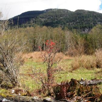 Photo of blooming tree with Mt. Hallowell in the background.